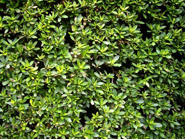 ツツジの葉