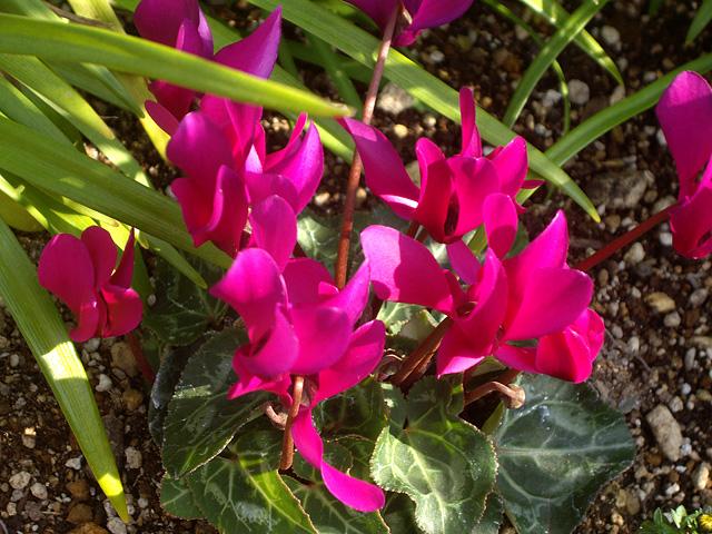 濃いピンクのしくらめんの写真素材 フリー