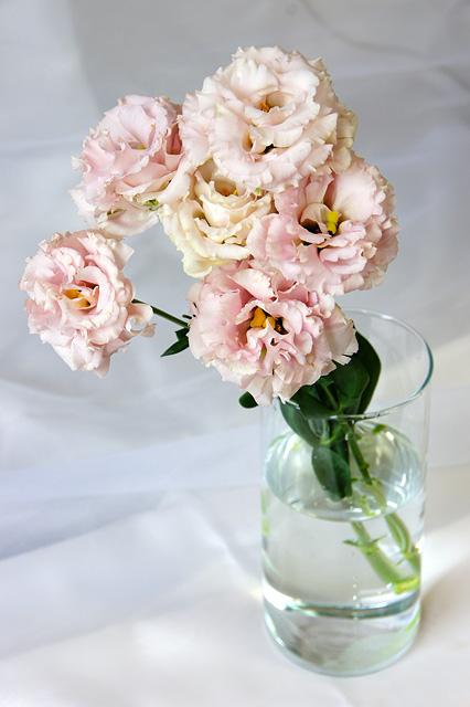 ピンクのトルコキキョウの写真素材 フリー