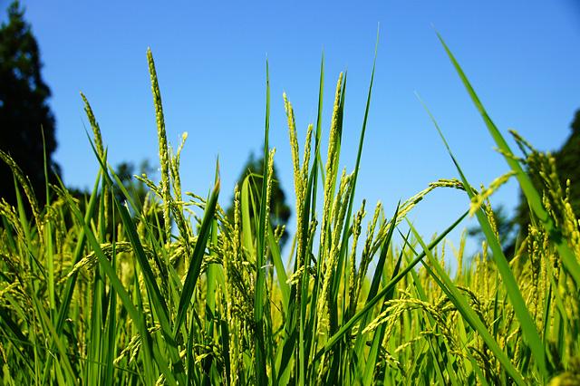 稲の写真素材 フリー