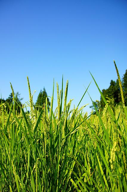 稲の無料写真素材