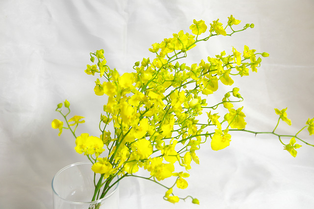 黄色オンシジュームの写真素材 フリー