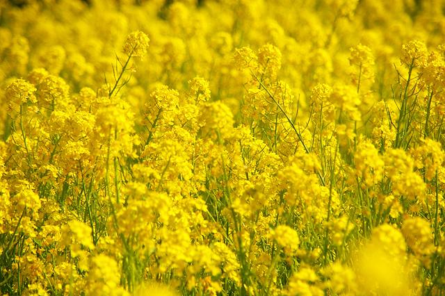 菜の花畑の写真素材 フリー