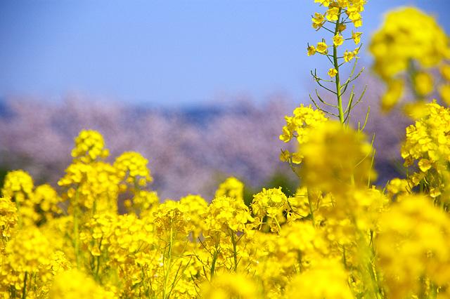 春の三色の写真素材 フリー
