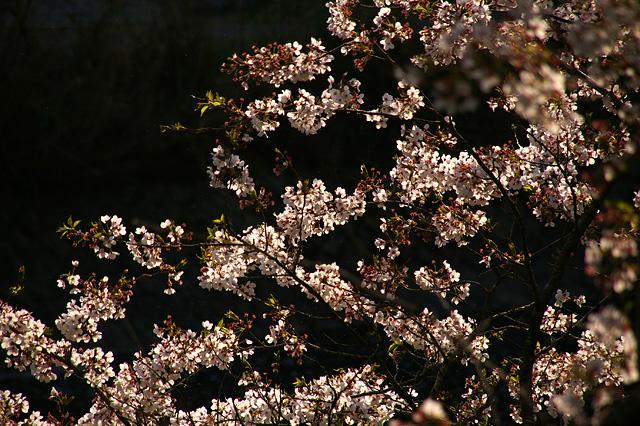 浮かび上がる桜の写真素材 フリー
