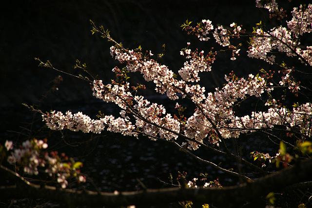 輝く桜の花