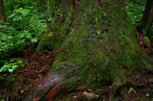 大木の幹の写真素材 フリー