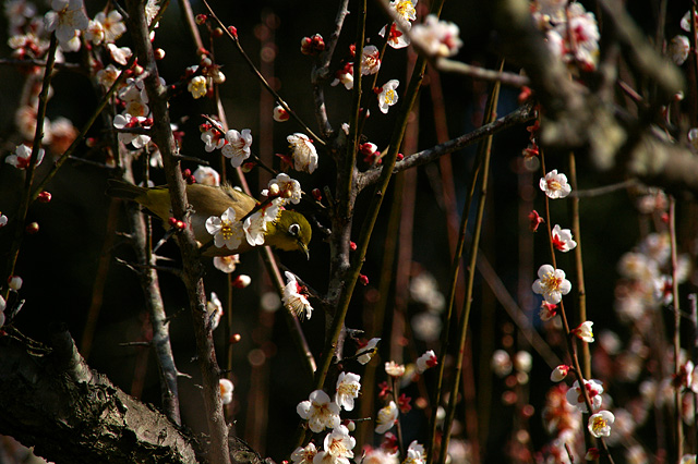 梅の木と鶯の写真素材 フリー