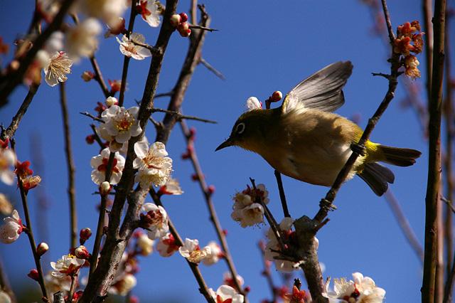 梅の花とメジロの写真素材 フリー
