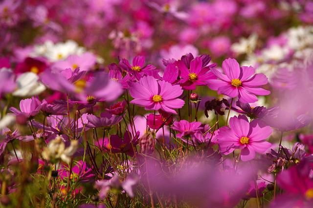 コスモスの花の写真素材 フリー