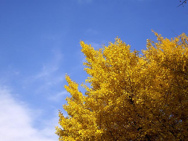 黄金に輝く銀杏の木