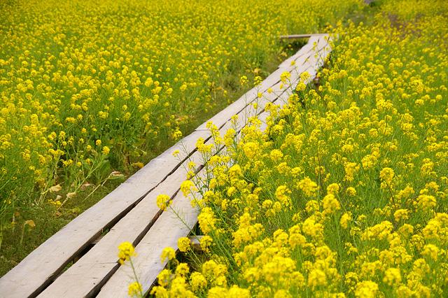 菜の花の中の木道