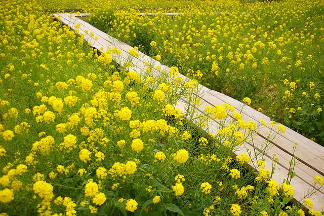 菜の花の中の散歩道