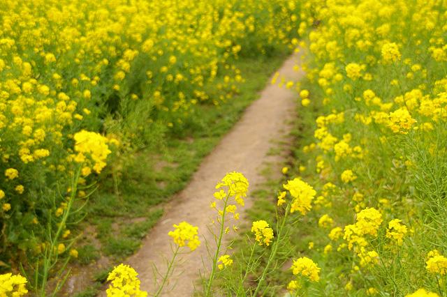菜の花畑の道