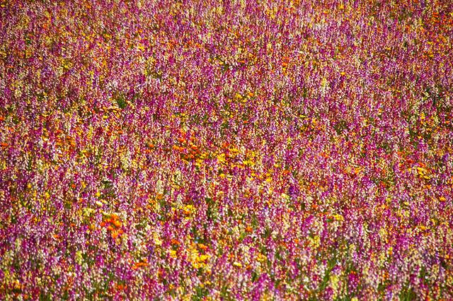 姫金魚草の絨毯