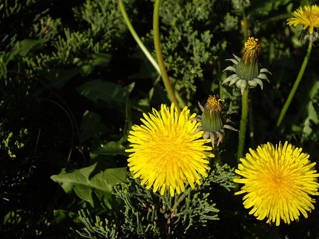 春の象徴の写真素材 フリー
