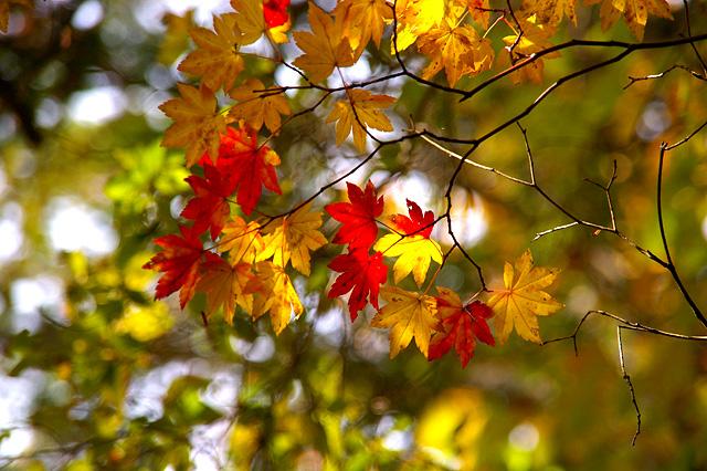 楓の紅葉の写真素材 フリー