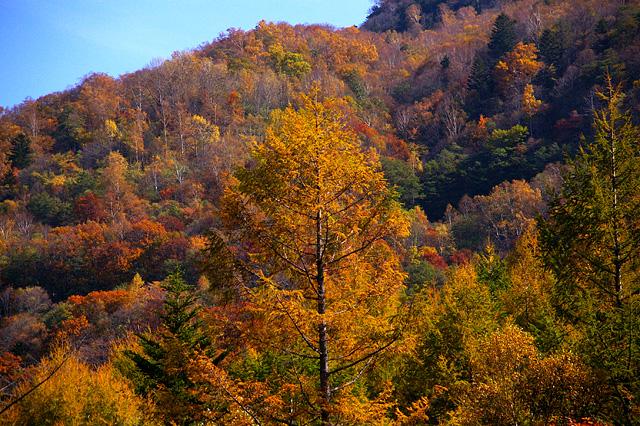 大木の秋の写真素材 フリー