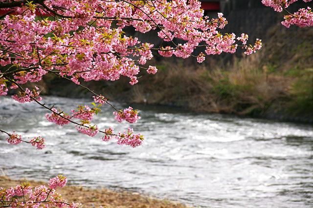 河津川の春の写真素材 フリー