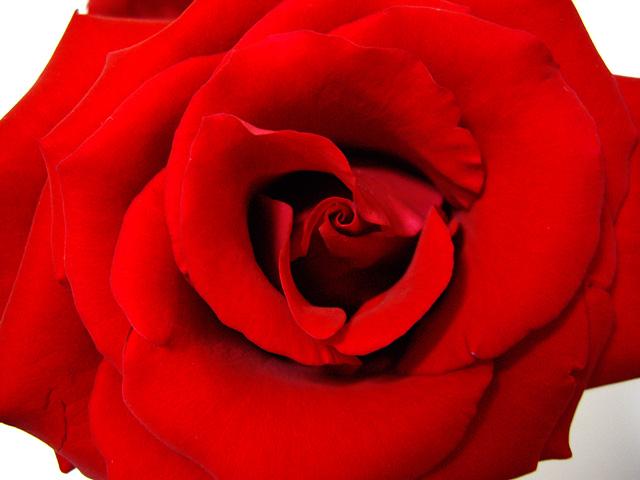 赤いバラの写真素材 フリー