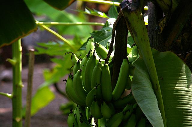 バナナの木の写真素材 フリー