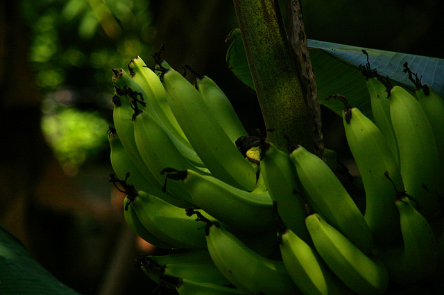 緑色のバナナの写真素材 フリー