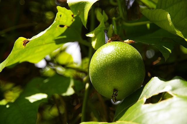 パッションフルーツの木
