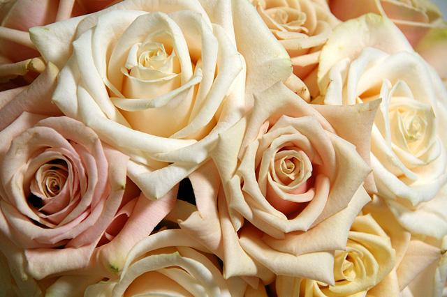 白バラの写真素材 フリー