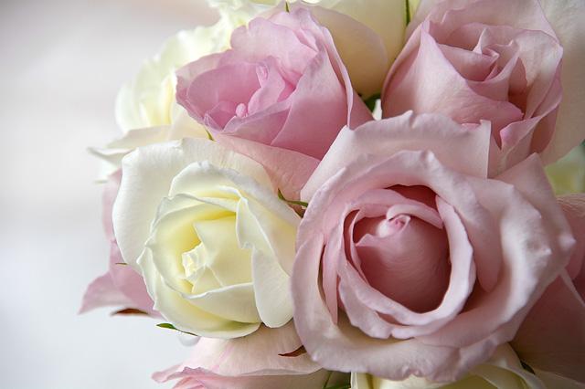 淡い色のバラの無料写真素材