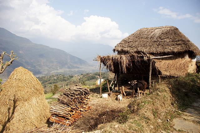 ネパール山間部の民家の水牛