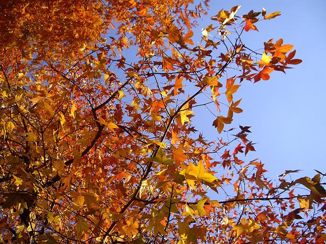 紅葉葉楓の写真素材 フリー