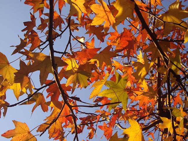 モミジバフウの紅葉の無料写真素材