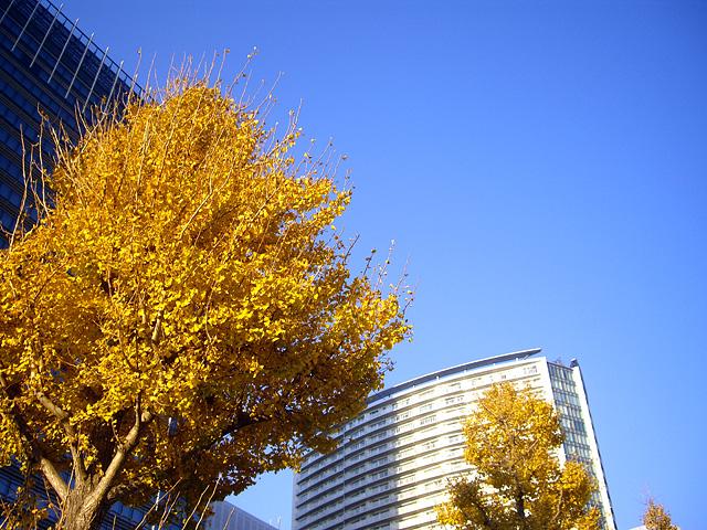 街路樹の銀杏とビル