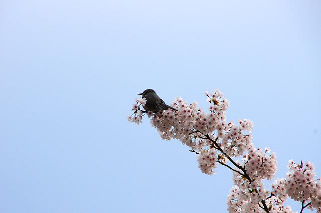 桜とうぐいす