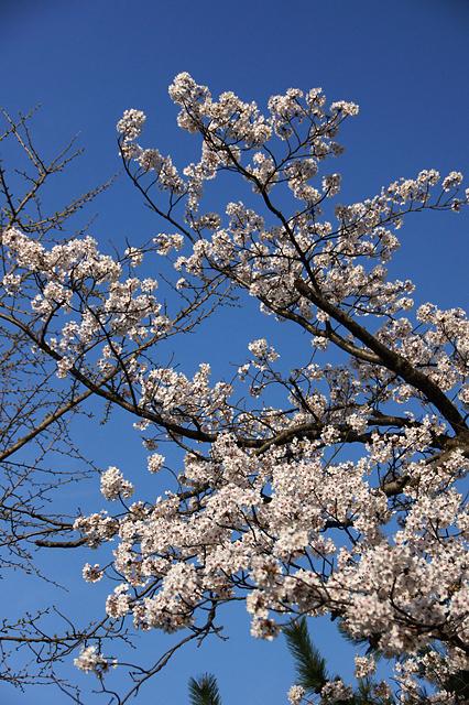 青空と桜の木の写真素材 フリー