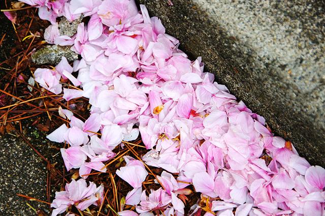 散った桜の花びら