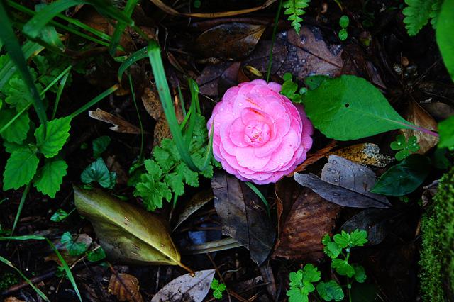 地面に落ちている花