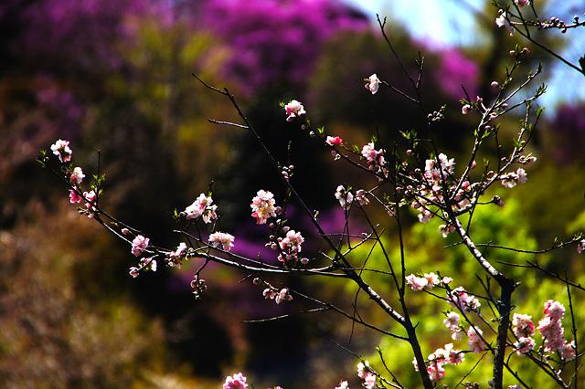 桜の写真素材 フリー