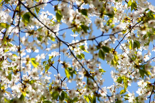 葉が混じった桜