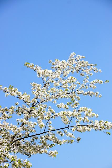 青空と桜の写真素材 フリー