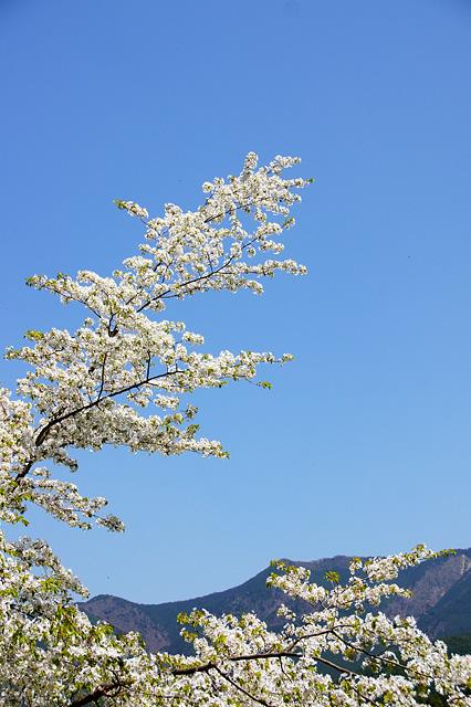 青空と桜のフリー写真素材