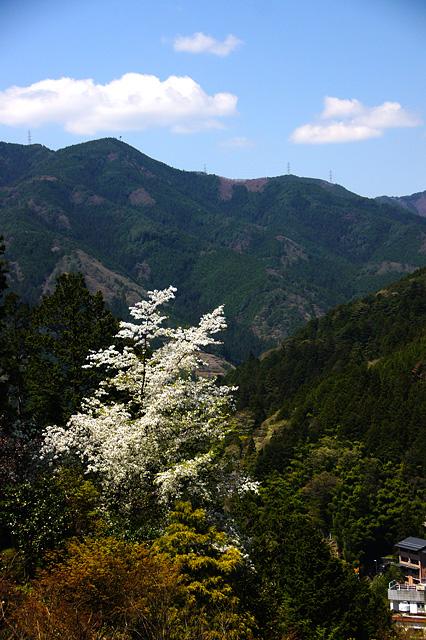 山に咲いている桜