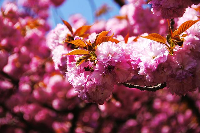 満開の八重桜の写真素材 フリー