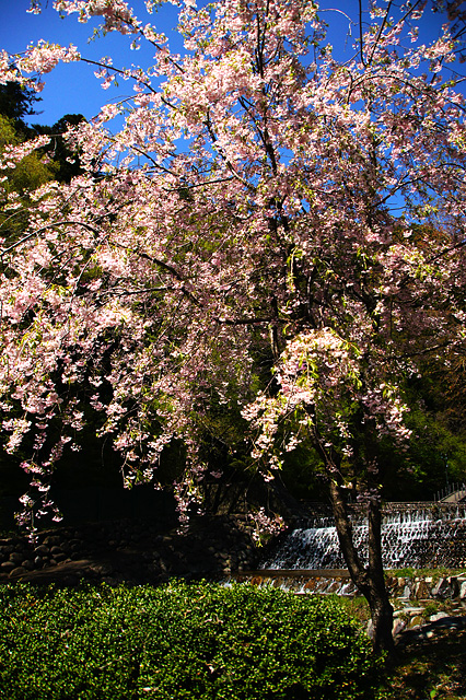 桜の木の写真素材 フリー
