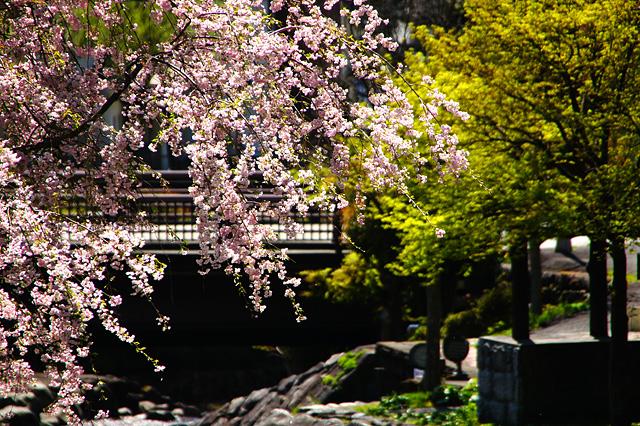 公園の桜の写真素材 フリー
