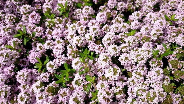紫色の小さな花の写真素材 フリー