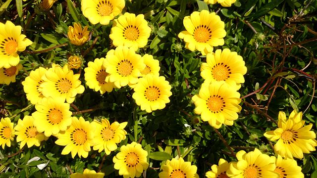 花壇の黄色い花の写真素材 フリー