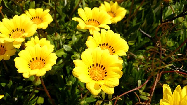 花壇の黄色い花の無料写真素材