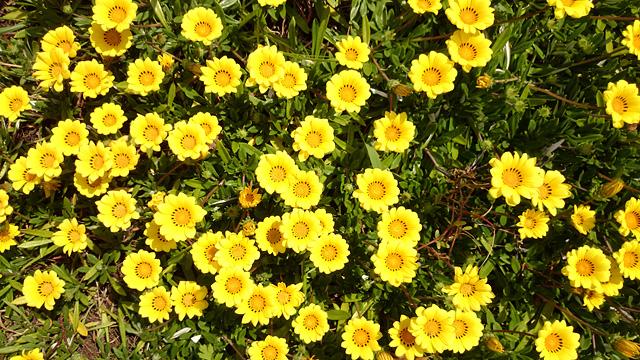 花壇の黄色い花のフリー写真素材