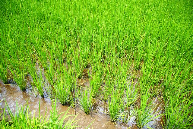 成長する稲